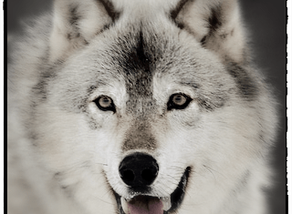 niche wolf