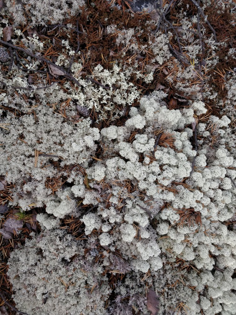 3 differrent Lichens, Rondane National Park, Innlandet County, Norway - ...behind every picture, there is a story...