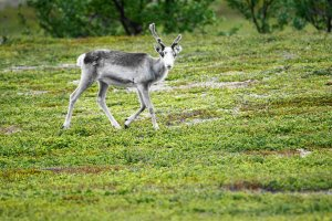 Reindeer, Børselv, Troms og Finnmark, Norway - ...behind every picture, there is a story...