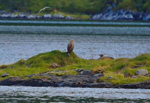 White Tailed Eagle, Hooded Crow, Common Tern. Straumsbotn Fjord, Isle of Senja, Troms og Finnmark, Norway - ...behind every picture, there is a story...
