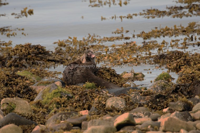 Eurasian Otter, Isle of Jura, Scotland - ...behind every picture, there is a story...