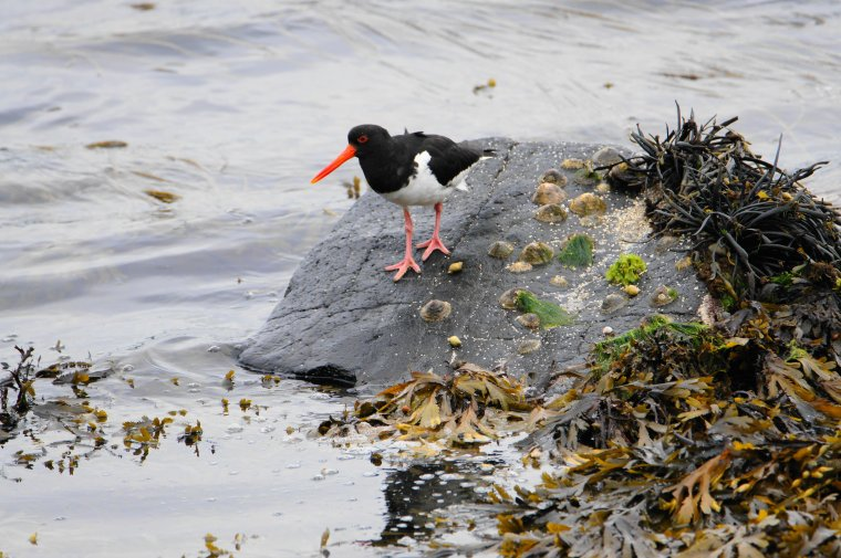 Eurasian Oystercatcher, Isle of Jura, Scotland - ...behind every picture, there is a story...