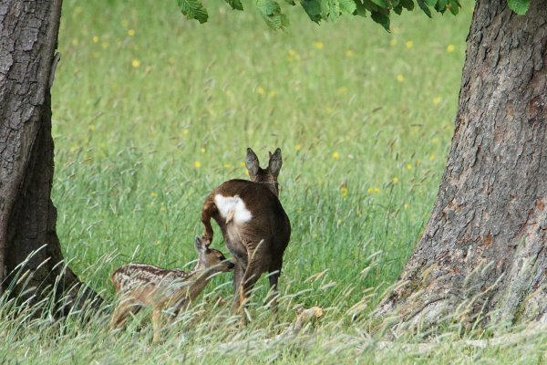 Female Roe Deer and Fawn, Lothersdale, Craven, North Yorkshire, England