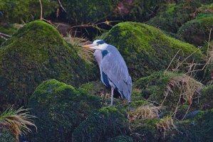 Heron in River Wharfe at Bolton Abbey, North Yorkshire, England, January 2020