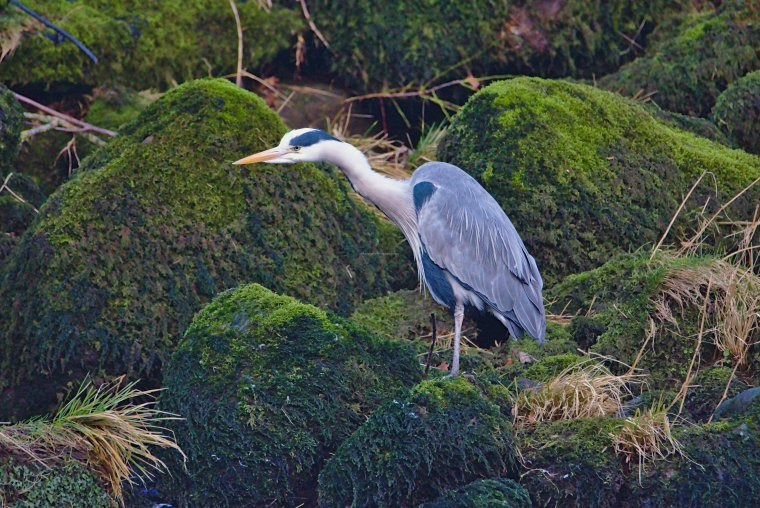 Heron in River Wharfe at Bolton Abbey, North Yorkshire, England, January 2020 - ...behind every picture, there is a story...