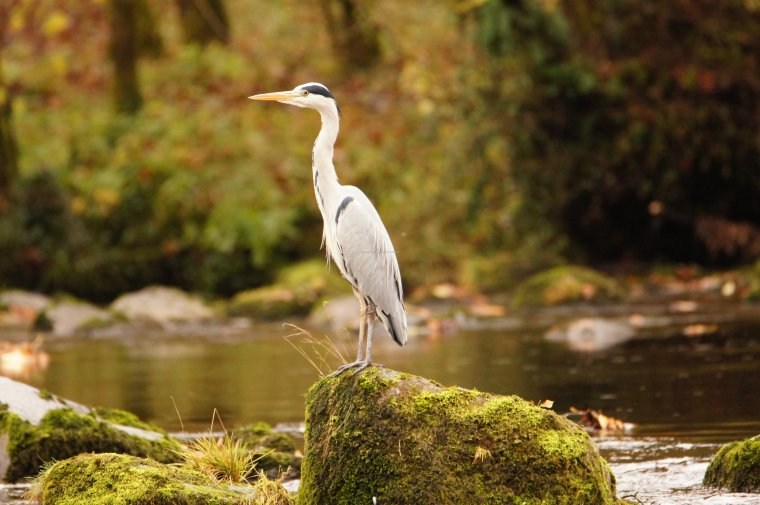 Heron in River Wharfe at Bolton Abbey, North Yorkshire, England, November 2017 - ...behind every picture, there is a story...