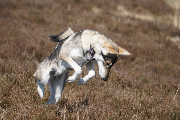 Northern Inuit (kennel name: Machine Lady Artemis) catching mice, Elsack Moor, North Yorkshire, England