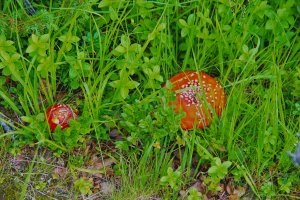 Fly Agaric (Amanita muscaria), Nesna, Norland County, Norway