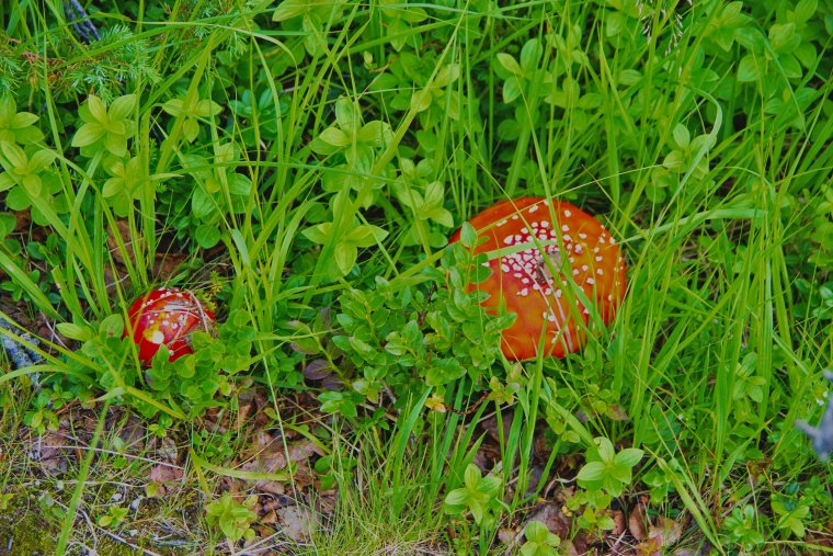Fly Agaric (Amanita muscaria), Nesna, Norland County, Norway - ...behind every picture, there is a story...