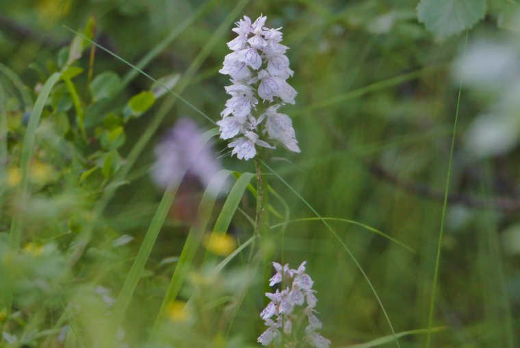 Wild Orchid, Near Trondheim, Trøndelag County, Norway - ...behind every picture, there is a story...
