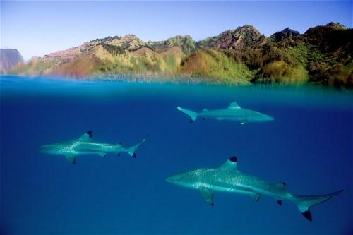 Sharks, Tahiti, Moorea, Morea, Black Tip, Black trip Reef shark, Over under, Blue water, Duncan Macfarlane Photography, Duncan, Photography, Duncanm, art, fine art, Ocean, Duncan Macfarlane, Duncanmphoto,