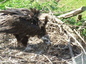 Black Vulture chick - Chester Zoo