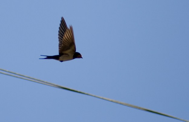 Swallow - Saltburn by the Sea