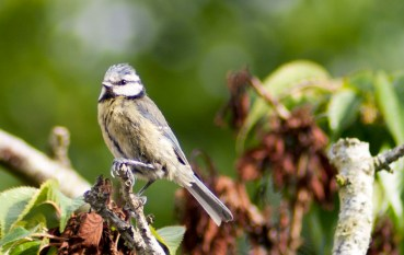 Blue Tit - LlanfairPG, Anglesey