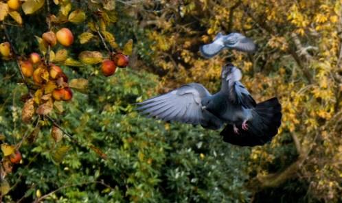 Feral Pigeon - Nottingham Arboretum