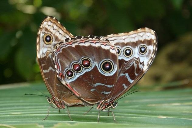 Butterlies mating - Chester zoo