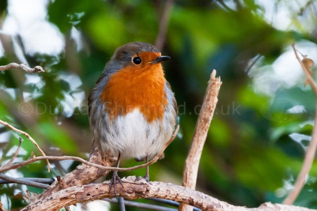 Photographing Birds European Robin