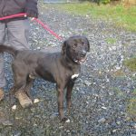 Sooty - Lab / Boxer X Male