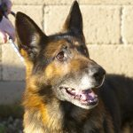 Merlin - GSD Male - Reserved by our colleagues in HUH