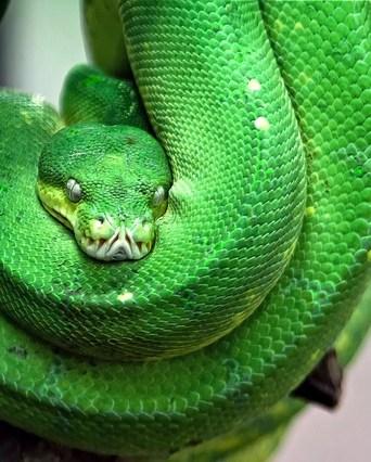 Green Snake from the Snake Farm IN Sri Lanka