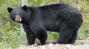 Gust can push this bear 5 feet