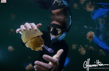 Swimming with stingless jellyfish in Indonesia
