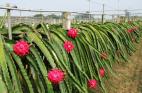 The dragon fruit cactus is a vine