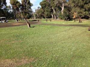 golf-roos