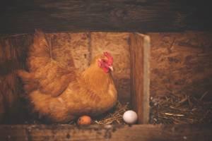 brown hen near white egg on nest