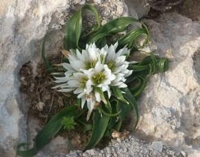 elafonisi çiçek