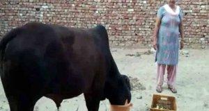 بھارتی شہری کو بیل کے گوبر سے سونا ملنے کی امید