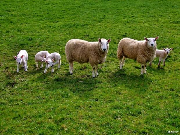 owce-wild-atlanltic-way-irlandia-naturalne-atrakcje-03
