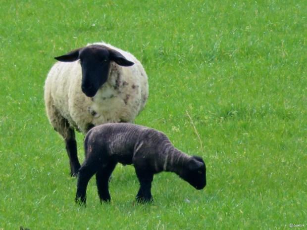 owieczki-wycieczka-wild-atlantic-way-wybrzeze-irlandii-08