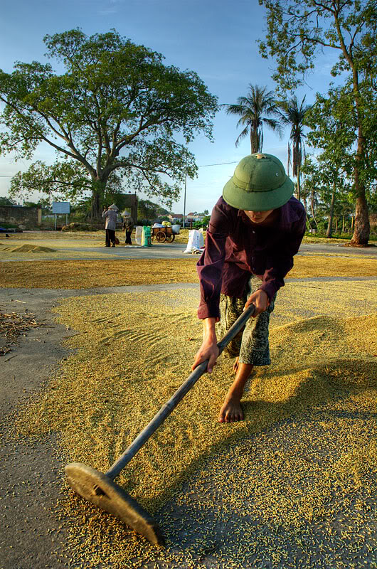 Drying rice by traditional tool in Duong Lam