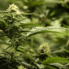 The Top 11 Marijuana Strains in Colorado