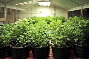 Do you know which states allow the consumption of marijuana and which don't? Or where else around the globe you can use pot? Here's a look at marijuana laws in the U.S. and elsewhere. (Hyoung Chang, Denver Post file)