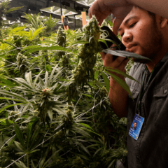 Why some pot costs are way, way down in Colorado