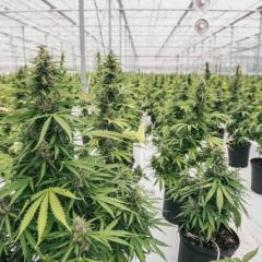 The Legal Weed Kingpin: Canopy Growth Corporation