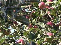 Got Apples? New Collective Has Pickers