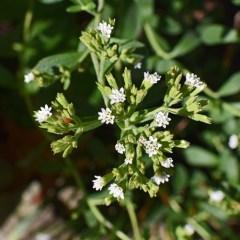 Stevia – Top 10 Health Benefits