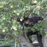 Have Apple Picker, Will Harvest