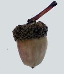 White Oak Acorn