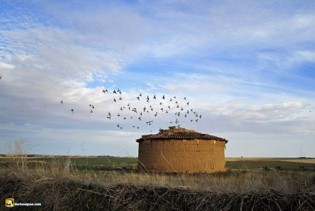Durius Aquae: algunas palomas conservan su hogar