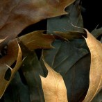 Leaves After Caravaggio