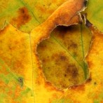 Leaves After Motherwell