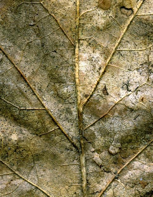 Rotting Leaf
