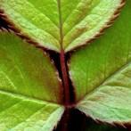 Rose Leaf #2