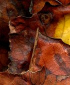 Leaves After Schiele