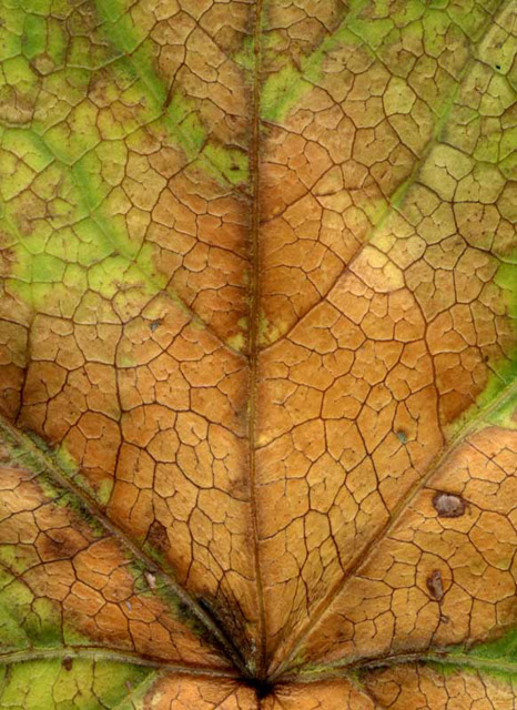 Leaf after Monet