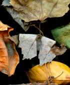Leaves after Oleszko